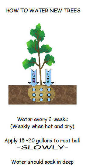 how-to-water-new-trees1
