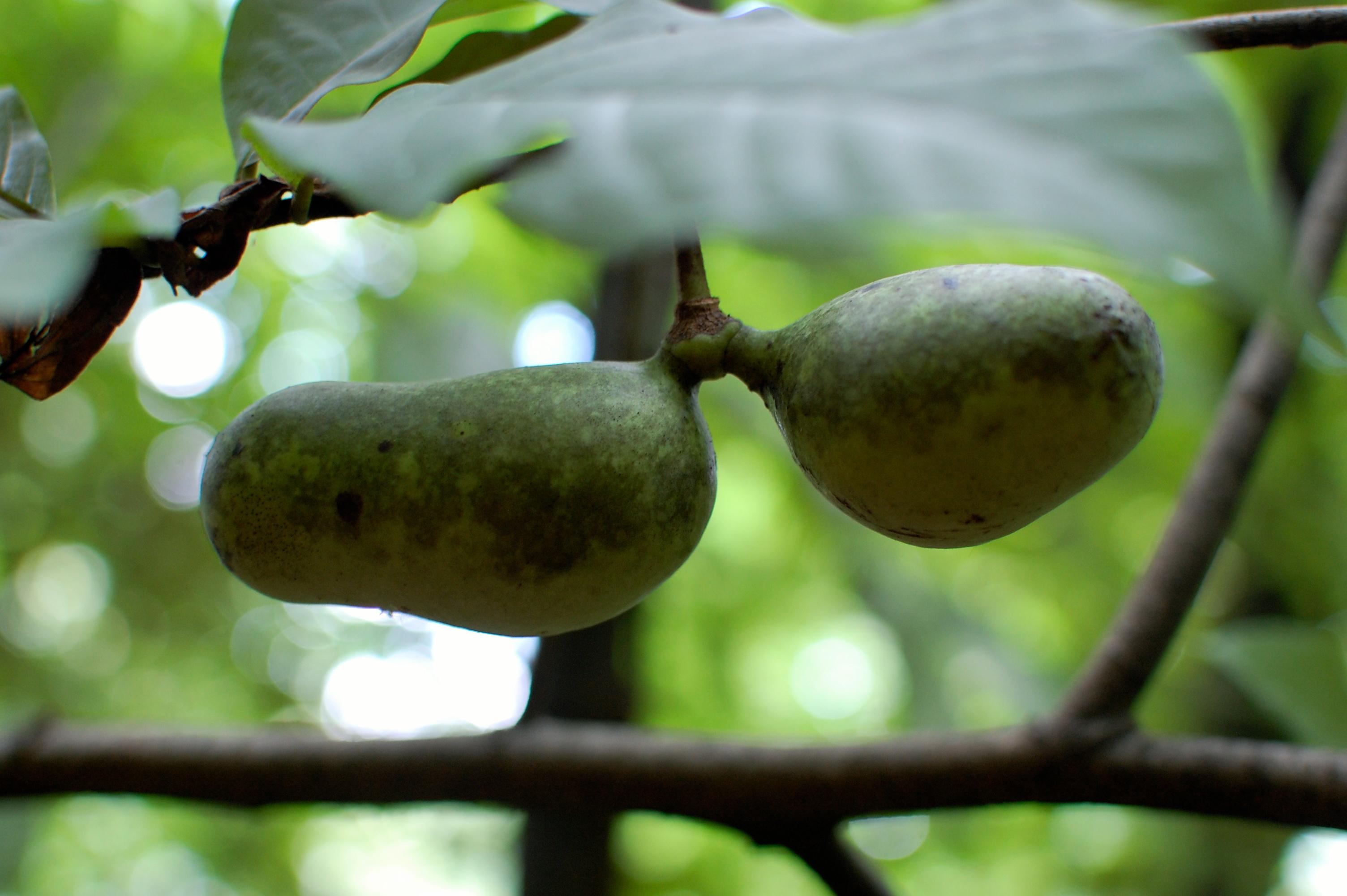 Paw-paw-fruits-2